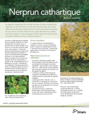 Buckthorn – French